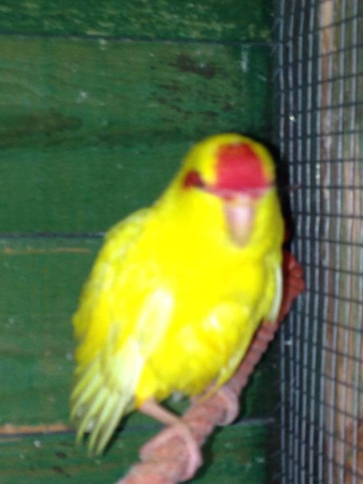 kakariki de 1 mois et demi , mâle ou femelle  10584810
