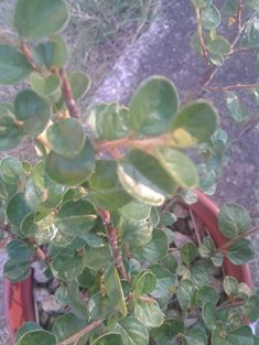 I miei cotoneaster  - Pagina 2 Bb10