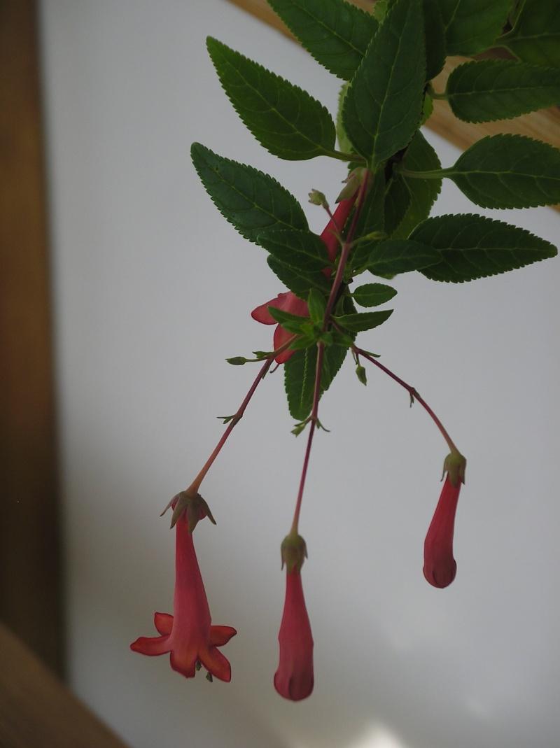 Cuphéa ou pas??? : Phygelius Capensis Imgp0202