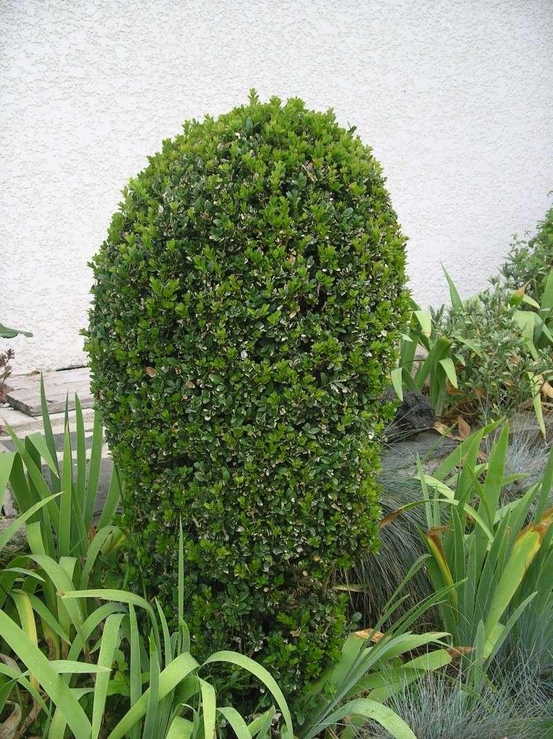 les arbustes persistants Imgp0219
