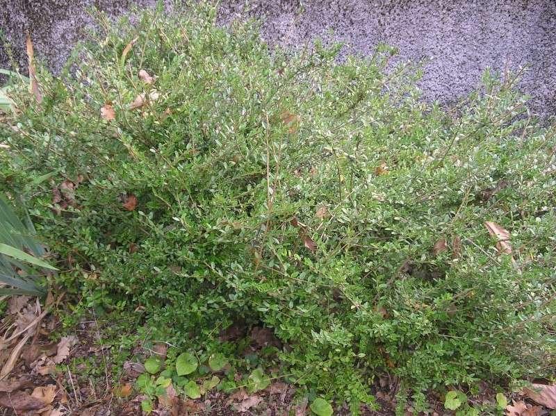 les arbustes persistants Imgp0221