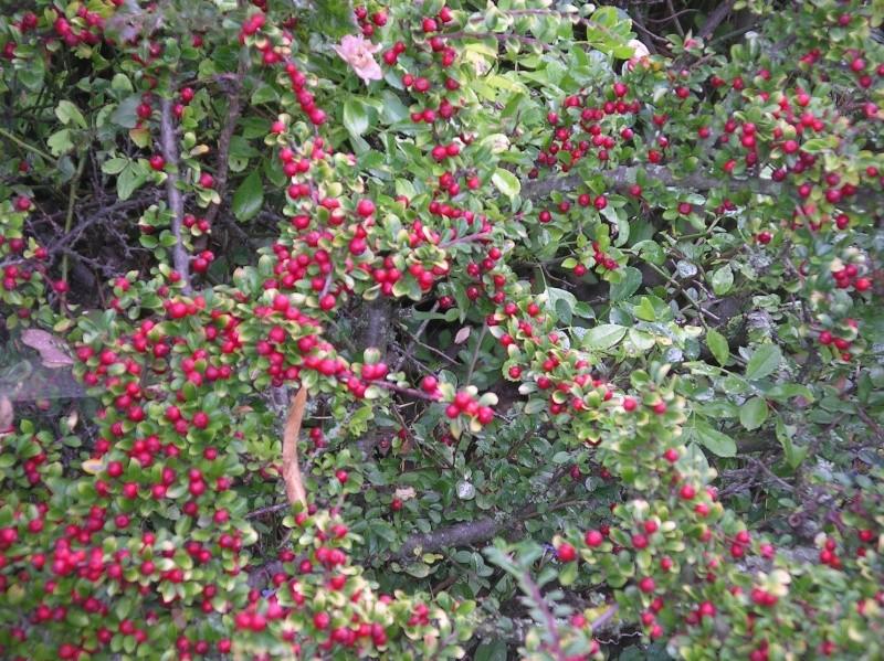 les arbustes persistants Imgp0222