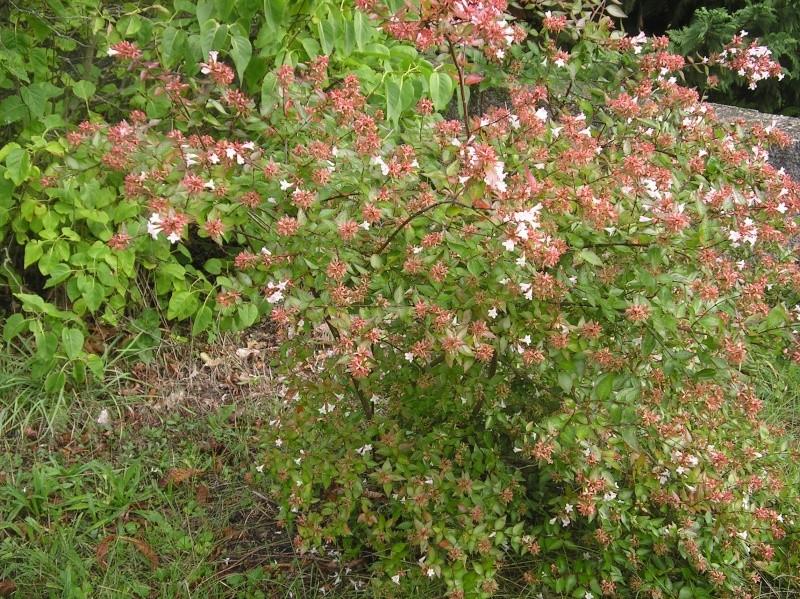 les arbustes persistants Imgp0226