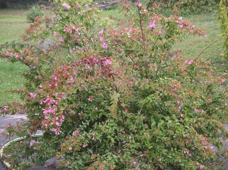 les arbustes persistants Imgp0227