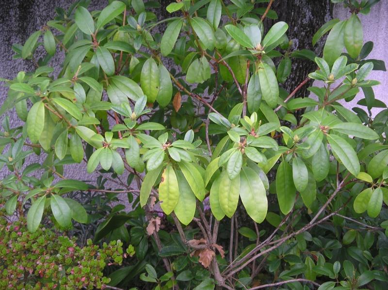 les arbustes persistants Imgp0230