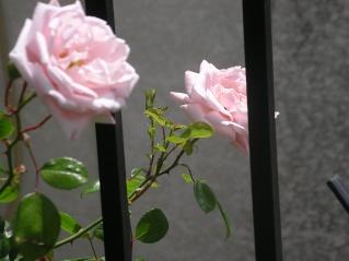 Rosa 'New Dawn' !!! - Page 3 New_da10