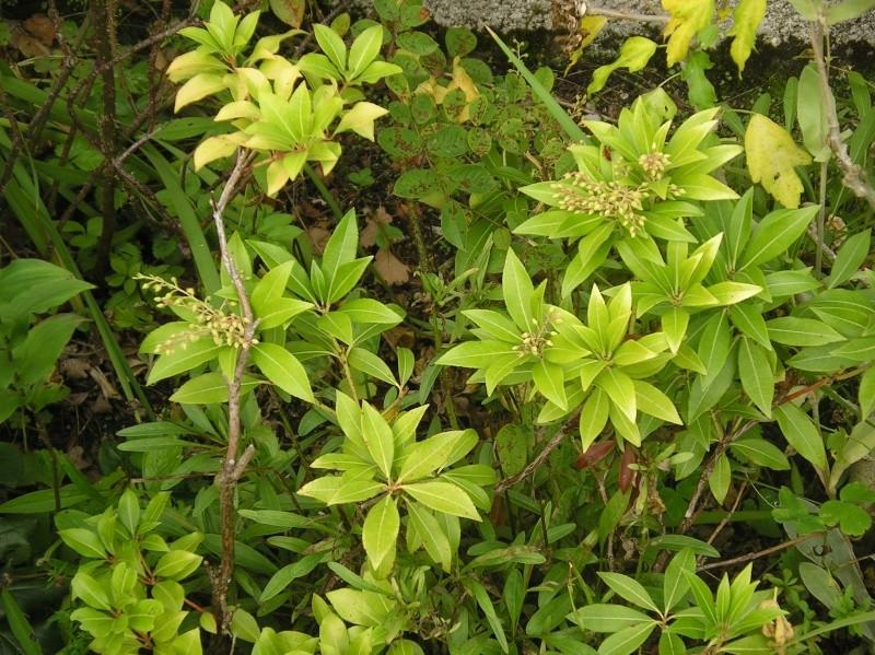 les arbustes persistants - Page 2 Pieris10