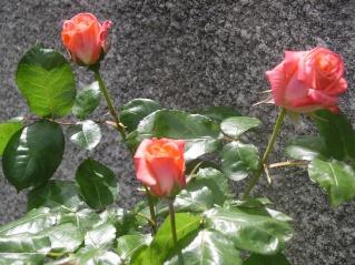 rosa Tendresse Tendre12