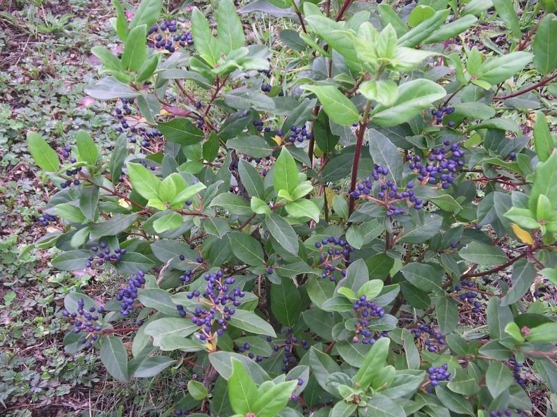 les arbustes persistants - Page 2 Tinus10