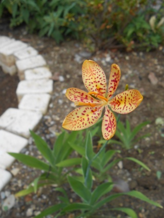 Iris domestica (= Belamcanda chinensis) - Page 2 Iris_c10