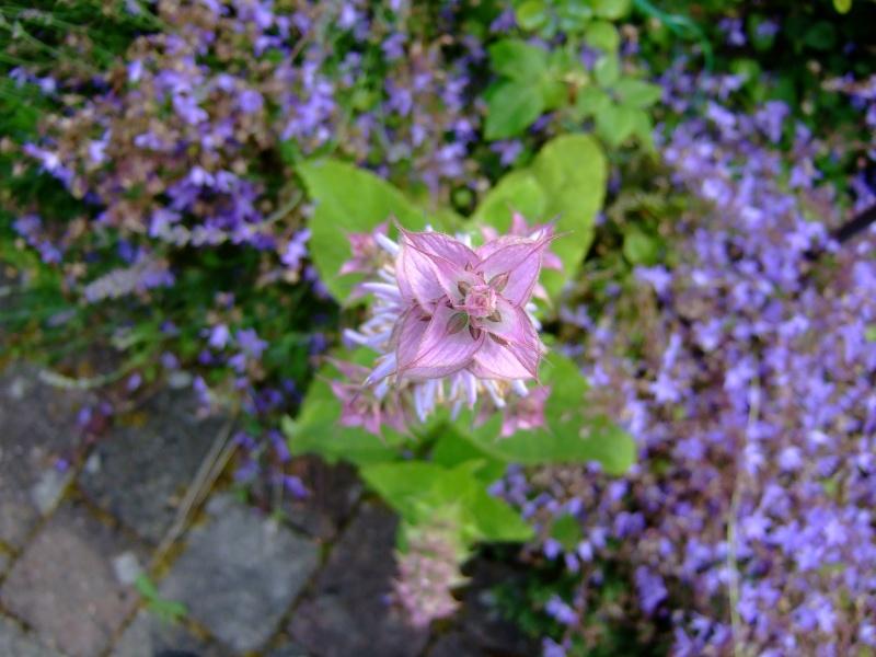 Unterfamilie Nepetoideae der Lippenblütler (Lamiaceae) - z.B. Basilikum, Thymian, Melisse, Salbei u.v.m. Dscf5916