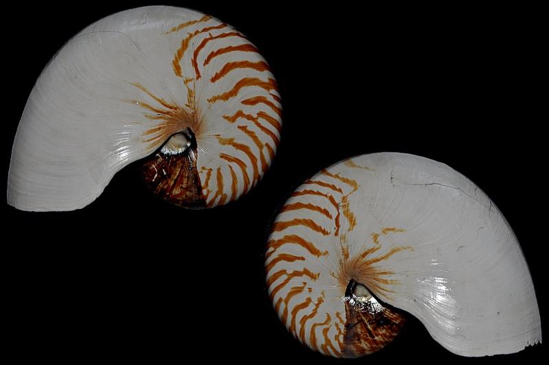 Nautilus repertus - Iredale, 1944 - nomen dubium  Dsc_0011