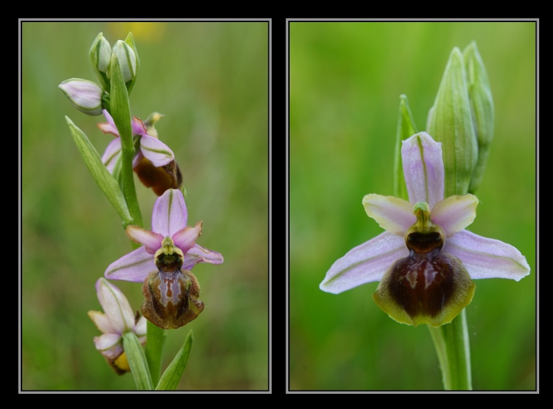 Ophrys aveyronensis ( Ophrys de l'Aveyron ) M12pfi10