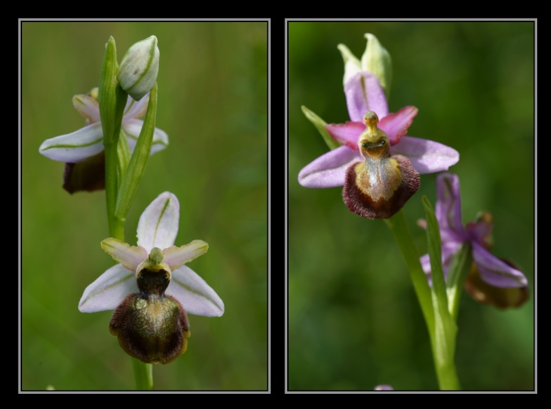 Ophrys aveyronensis ( Ophrys de l'Aveyron ) M1510