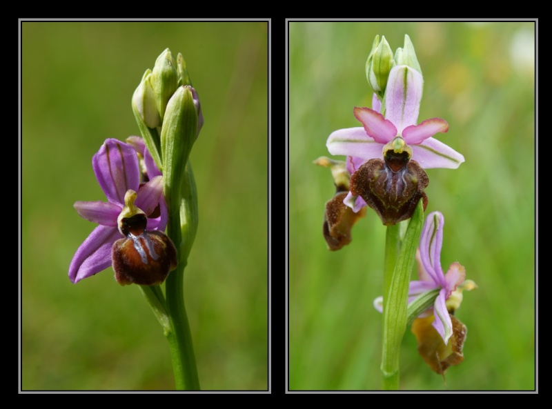 Ophrys aveyronensis ( Ophrys de l'Aveyron ) M1610