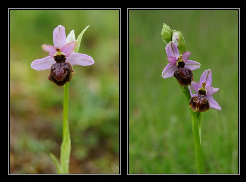 Ophrys aveyronensis ( Ophrys de l'Aveyron ) M1710