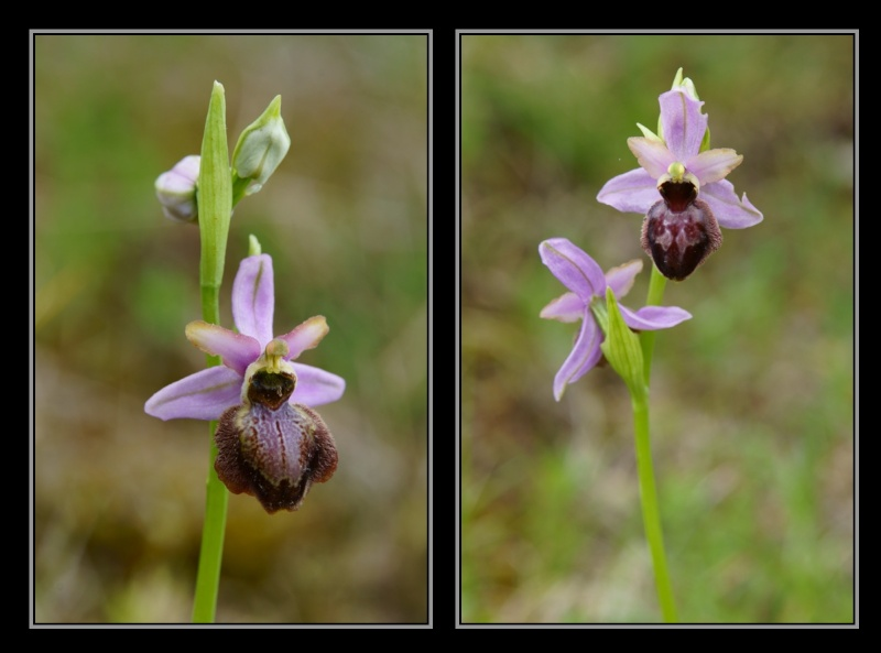 Ophrys aveyronensis ( Ophrys de l'Aveyron ) M1810