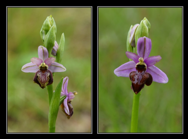 Ophrys aveyronensis ( Ophrys de l'Aveyron ) M1910