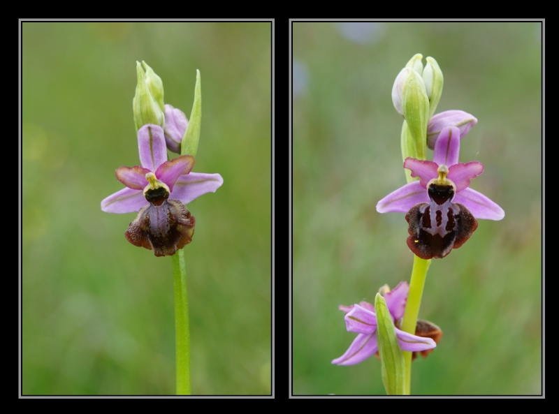 Ophrys aveyronensis ( Ophrys de l'Aveyron ) M2110