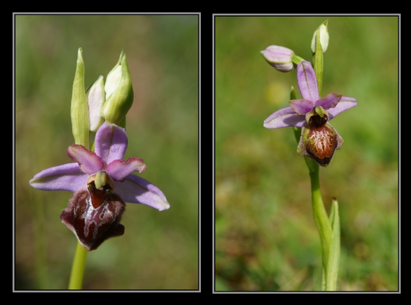 Ophrys aveyronensis ( Ophrys de l'Aveyron ) M2310
