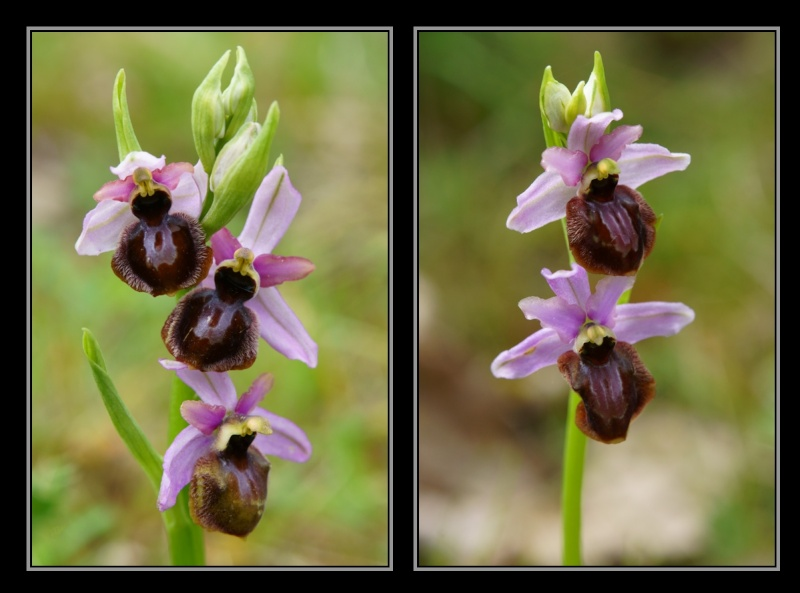 Ophrys aveyronensis ( Ophrys de l'Aveyron ) M2410