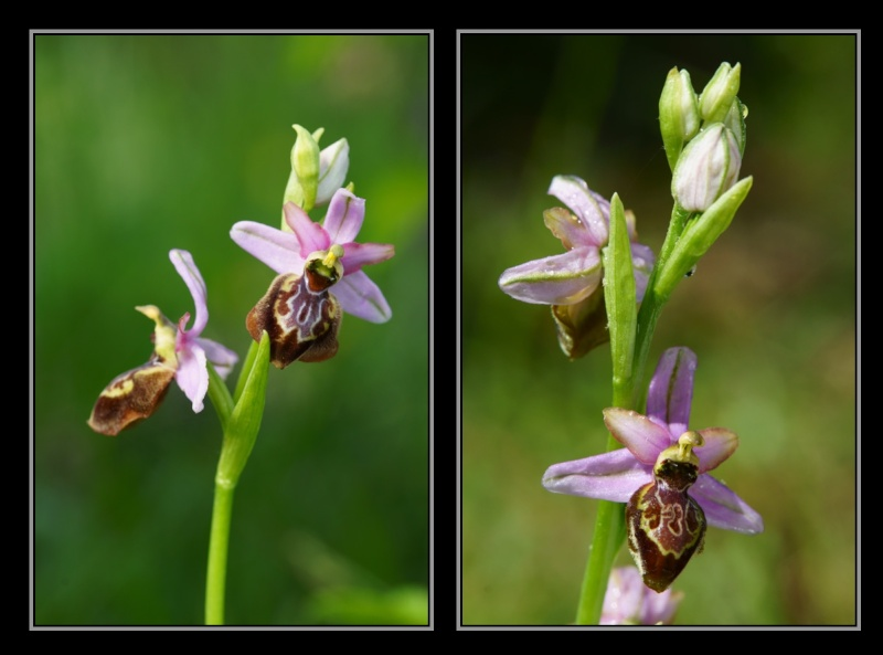 Ophrys aveyronensis ( Ophrys de l'Aveyron ) M2510