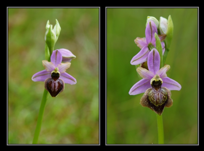 Ophrys aveyronensis ( Ophrys de l'Aveyron ) M610