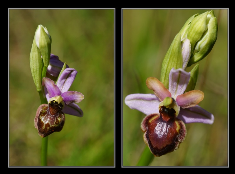 Ophrys aveyronensis ( Ophrys de l'Aveyron ) M910