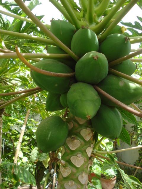 Culture de papaye Carica10
