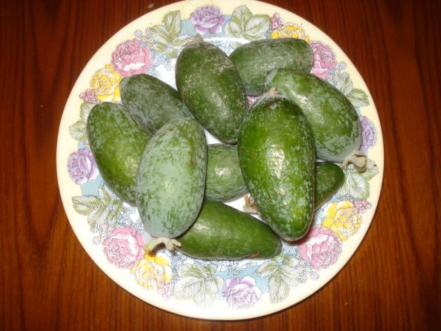 Feijoa ( Acca sellowiana ) la récolte a commencé   Dsc00010