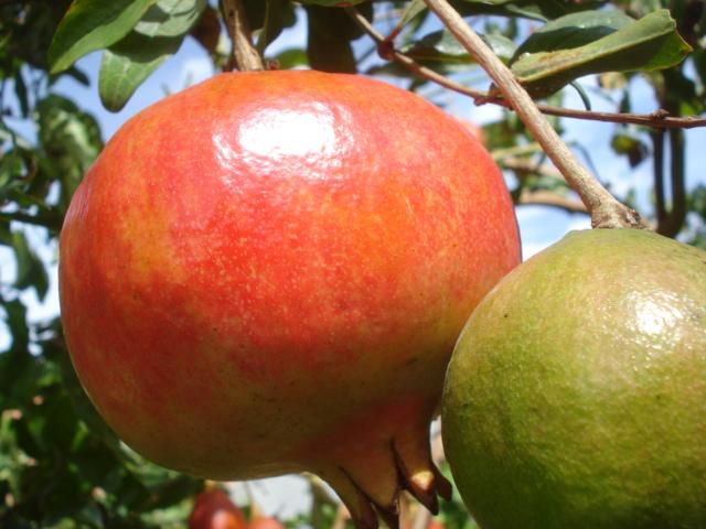Feijoa ( Acca sellowiana ) la récolte a commencé   G11