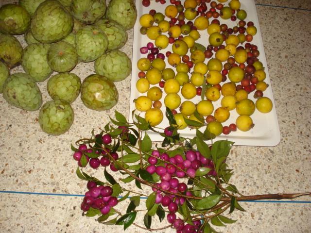 Feijoa ( Acca sellowiana ) la récolte a commencé   Jus_ex10