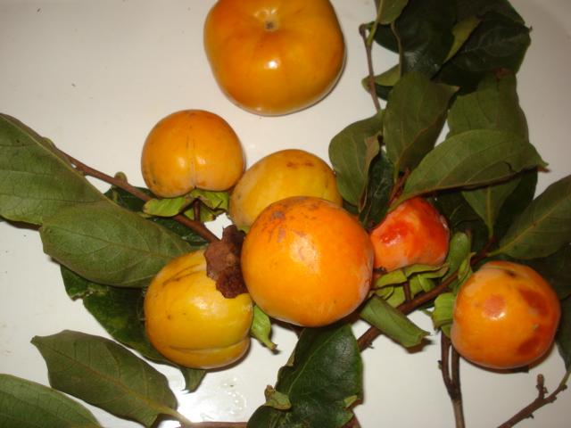 Feijoa ( Acca sellowiana ) la récolte a commencé   K_210