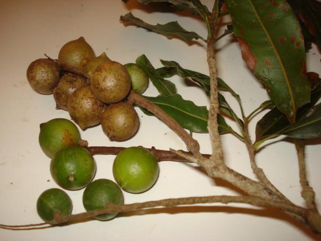 Feijoa ( Acca sellowiana ) la récolte a commencé   Noix_d10