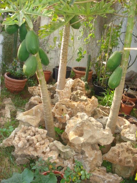Culture de papaye Papaye12