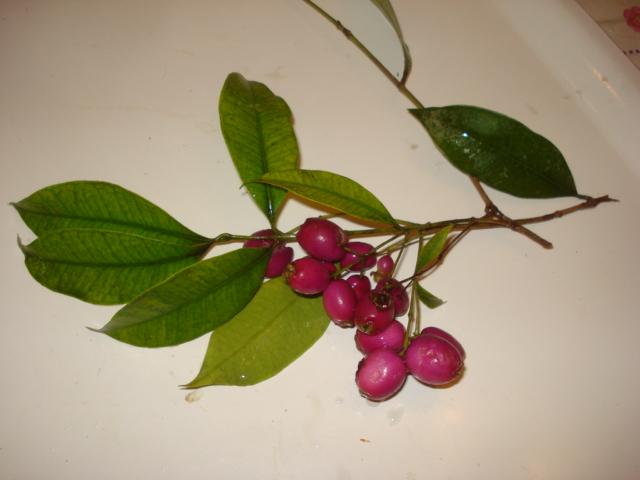 Feijoa ( Acca sellowiana ) la récolte a commencé   Syzygi10