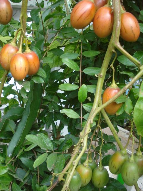 Deux récoltes en vue Tamari10