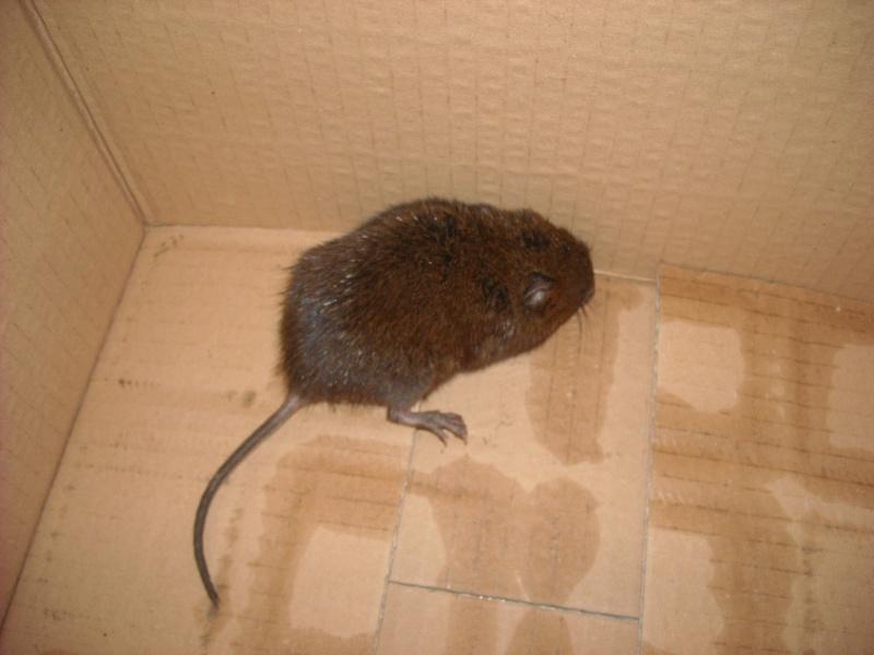 """""""rat"""" sauvage, laisser la nature ou intervenir? Dscn1710"""