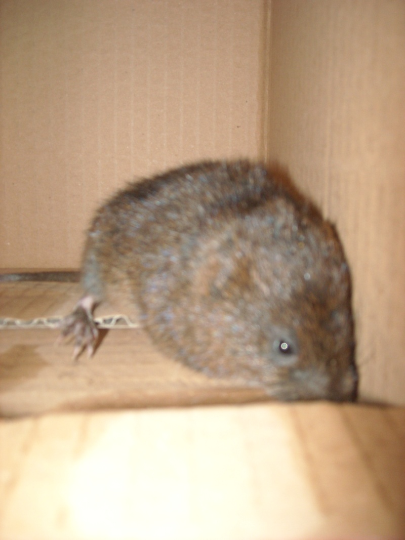 """""""rat"""" sauvage, laisser la nature ou intervenir? Dscn1711"""