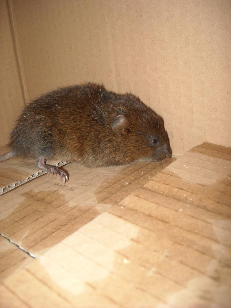 """""""rat"""" sauvage, laisser la nature ou intervenir? Dscn1712"""