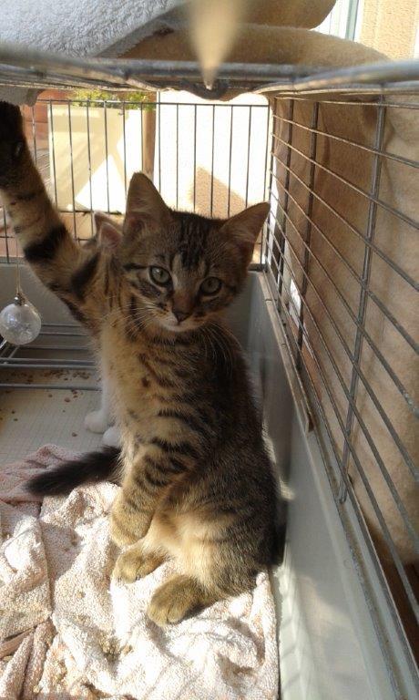 Jimmy, chaton mâle brown tabby né le 23/05/2014 20140810