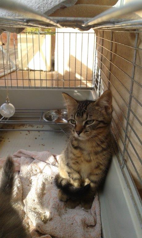 Jimmy, chaton mâle brown tabby né le 23/05/2014 20140811