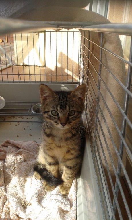 Jimmy, chaton mâle brown tabby né le 23/05/2014 20140812