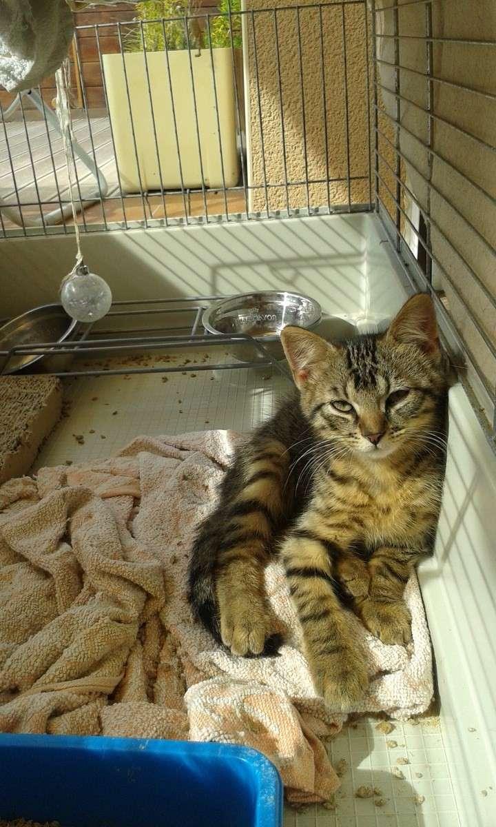 Jimmy, chaton mâle brown tabby né le 23/05/2014 20140813