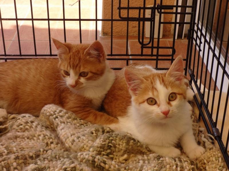 Jango, chaton type européen roux et blanc, né le 15/06/2014 Dsc01110