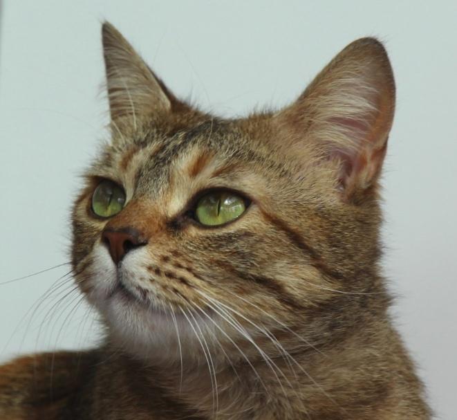 Iasmina, femelle tabby fauve roux née en février 2013 Image010