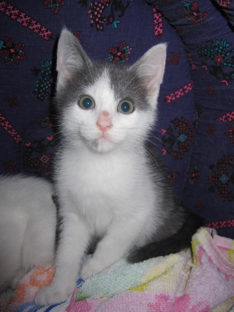 JOEY, chaton européen gris et blanc, né le 30/03/2014 Img_0043