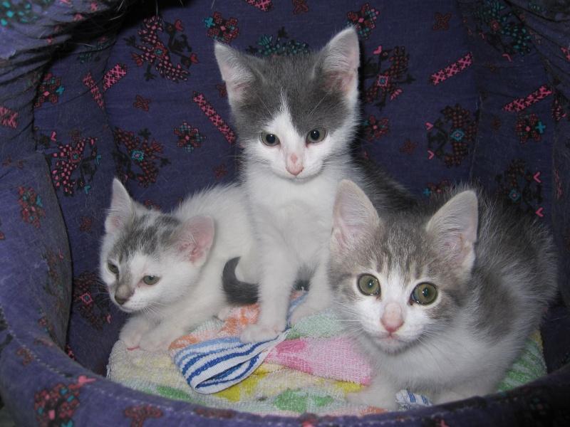 JOEY, chaton européen gris et blanc, né le 30/03/2014 Img_0044