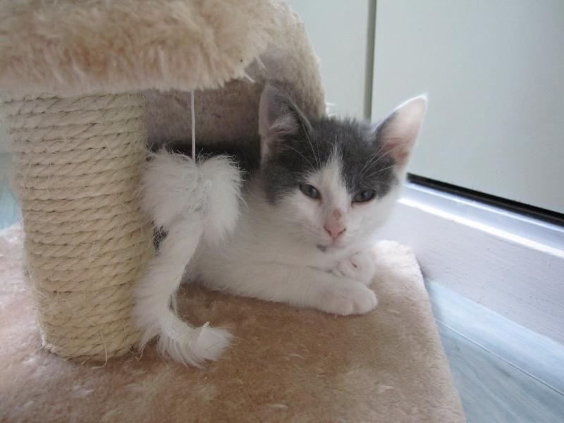 JOEY, chaton européen gris et blanc, né le 30/03/2014 Img_0110