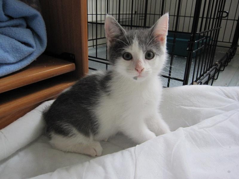 JOEY, chaton européen gris et blanc, né le 30/03/2014 Img_0114